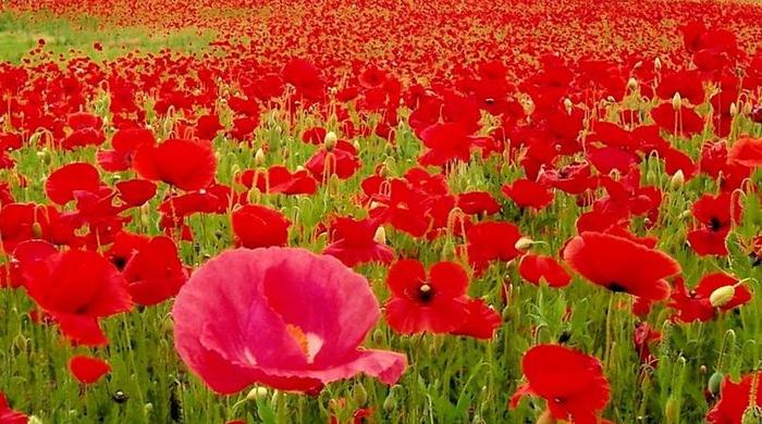 поля цветов 21 (700x390, 420Kb)