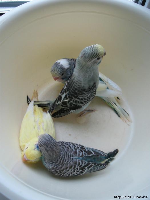 как размножаются попугаи, как размножить попугайчиков, фото попугайчиков в домике в гнезде, как выглядят яйца волнистых попугаев, фото птенцов волнистых попугайчиков, Хьюго Пьюго рукоделие, http://idi-k-nam.ru/ ,