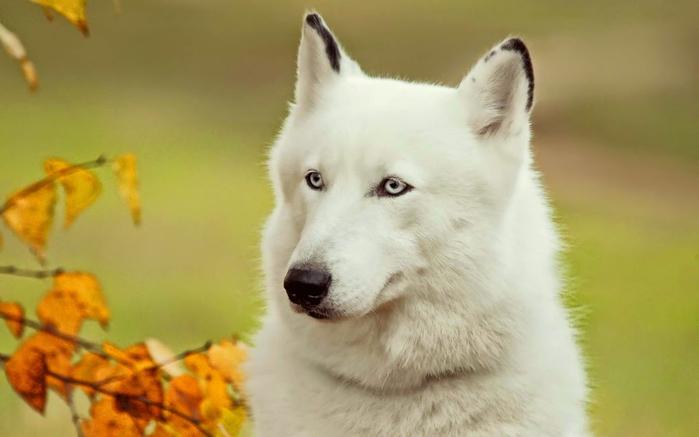 белый (700x437, 211Kb)