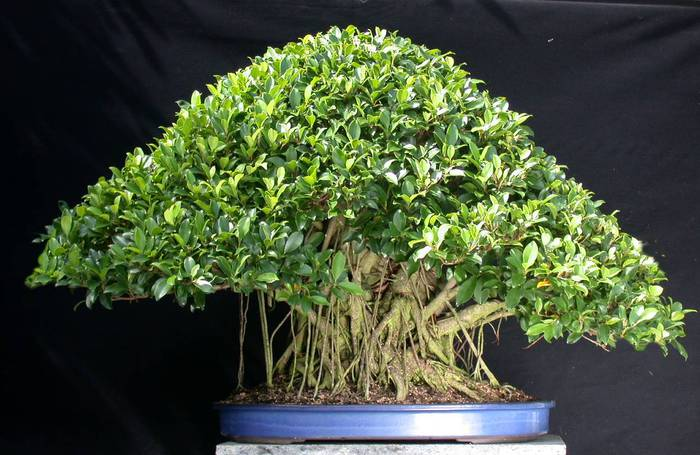 1408524774_Ficus_nitida_bonsai_4 (700x455, 62Kb)