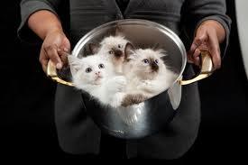 Кошки и коты в кастрюле2 (275x183, 20Kb)