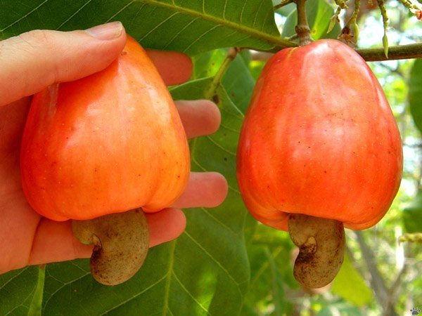 Орехи кешью растут так (600x450, 58Kb)