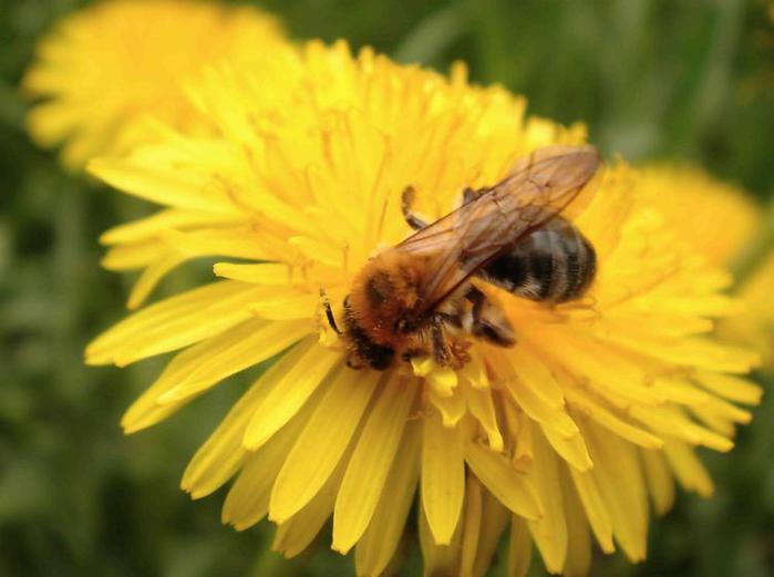 пчела на цветке/3881693_002 (700x521, 35Kb)
