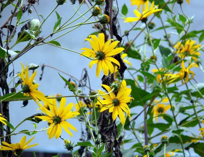 Цветы топинамбура в саду