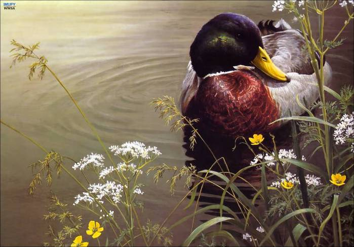 imufy-wwsa-as-bateman-10-mallard-duck-artfond (700x487, 54Kb)