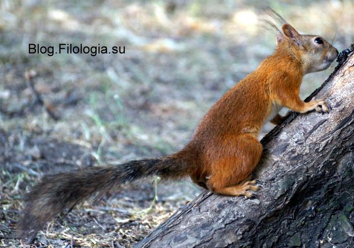 Фото белки на дереве/3241858_belka (700x490, 73Kb)