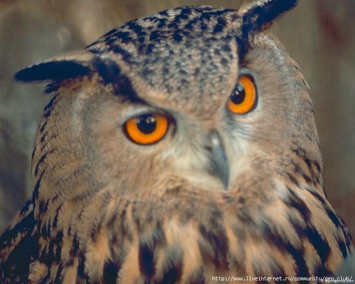 мудрая сова (700x560, 199Kb)