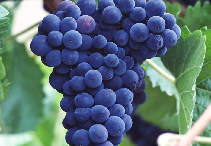 grapes_04 (700x485, 95Kb)