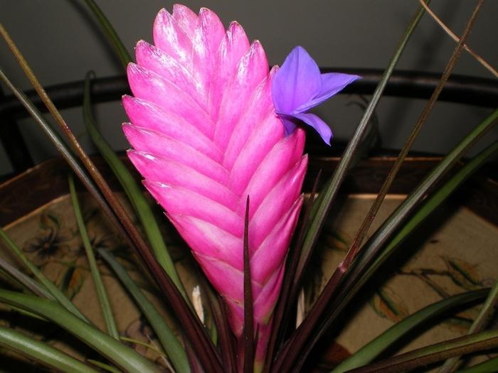 Тилландсия синяя с цветком (700x525, 354Kb)