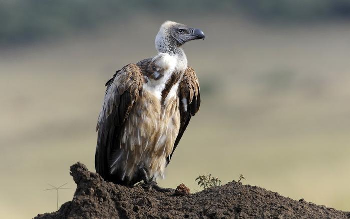 Vulture_01 (700x437, 69Kb)