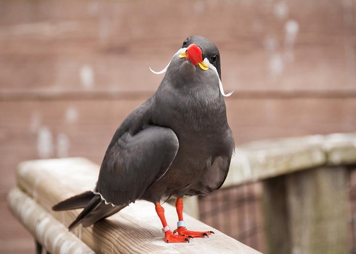 mustached-bird-2 (700x499, 89Kb)