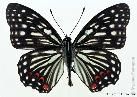 подборка бабочек для рукоделия, рисунок бабочки, фото бабочки, красивые картинки бабочек, трафареты бабочек, Хьюго Пьюго бабочки,