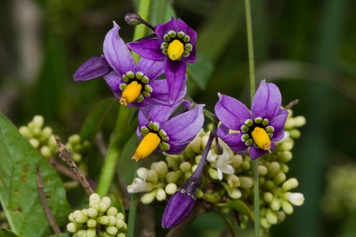 Solanum_dulcamara (700x466, 331Kb)