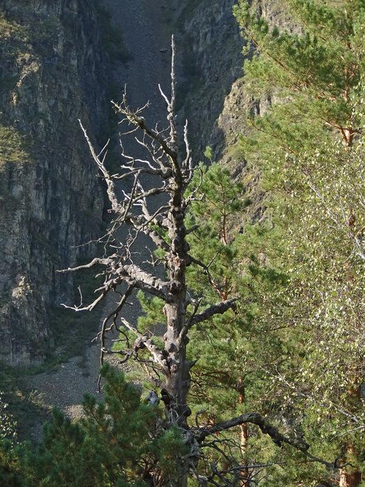 Сухое дерево/1415502_2_1_ (525x700, 235Kb)
