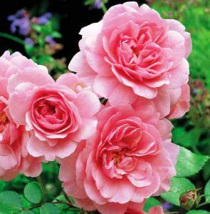 roza (295x300, 22Kb)
