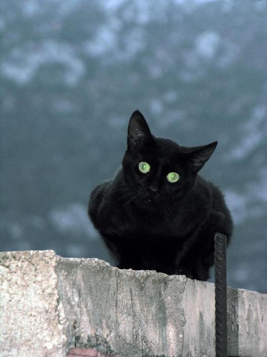 Кошка3 (525x700, 243Kb)