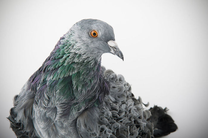 Pigeons_By_Richard_Bailey_02 (700x465, 51Kb)