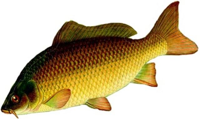 озерная рыба (500x240, 167Kb)