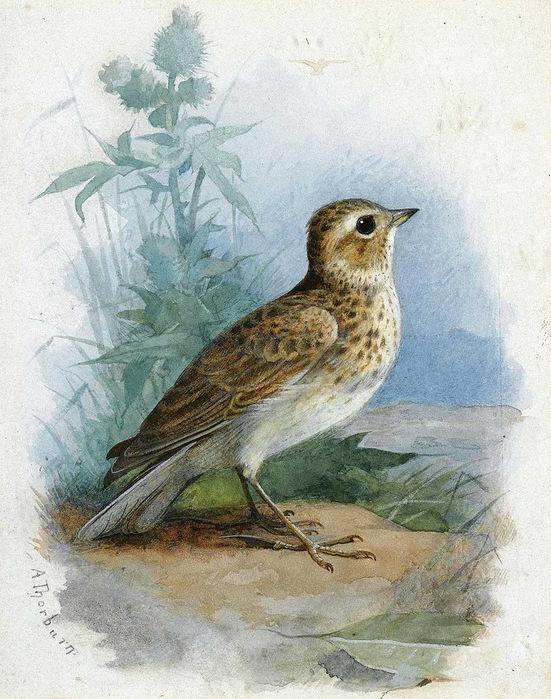 В.жуковский птичка рисунок