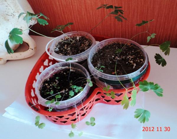 Как вырастить дихондру из семян