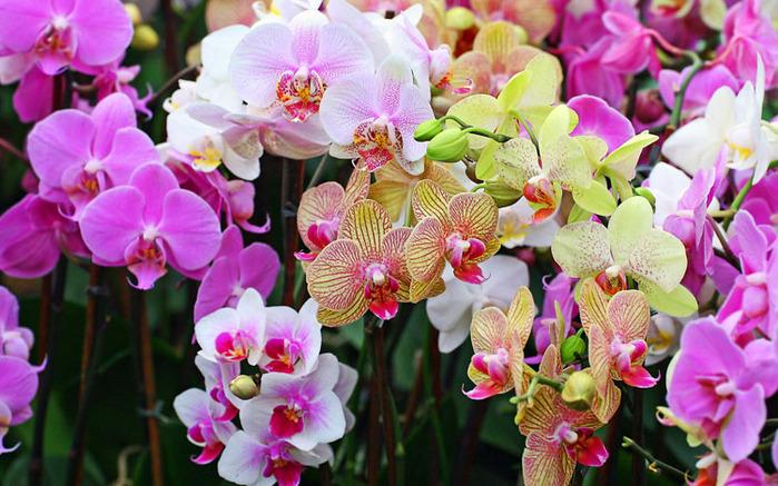 как поливать орхидеи (699x437, 359Kb)