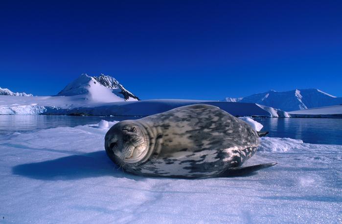 Weddell Seal8 F. Banfi (700x459, 409Kb)