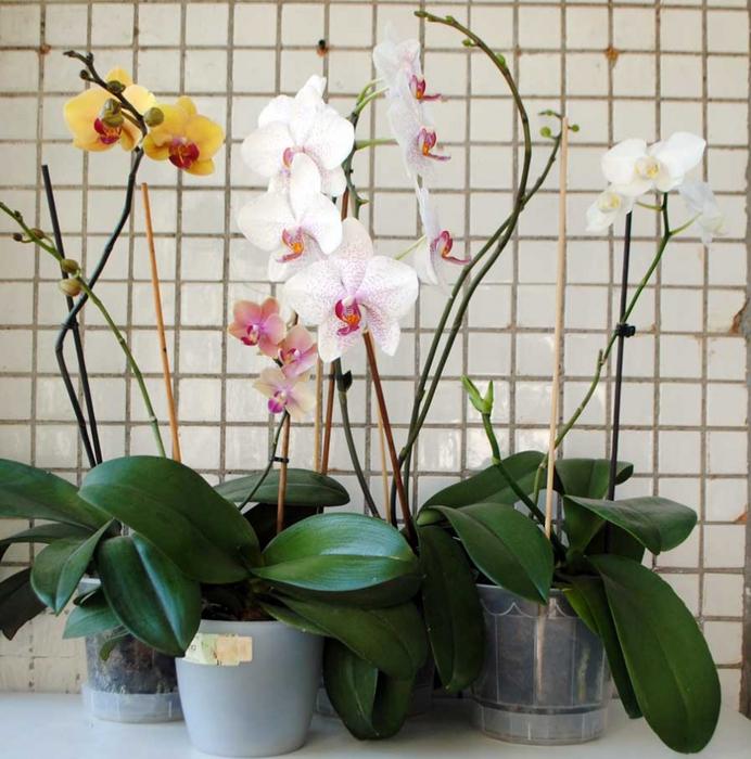 Орхидеи/3979564_orhideja (692x700, 317Kb)