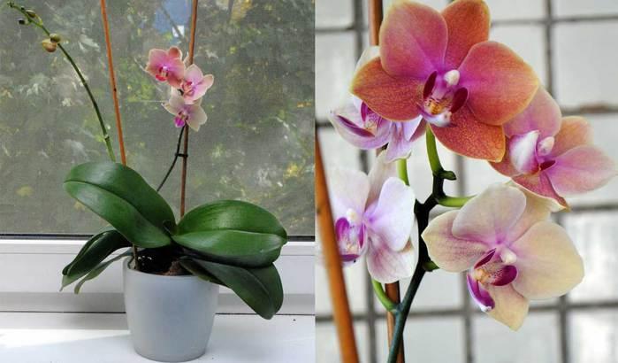3979564_orhideja4 (700x410, 37Kb)