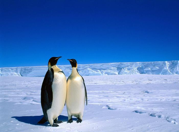 Penguins-085 (700x517, 363Kb)