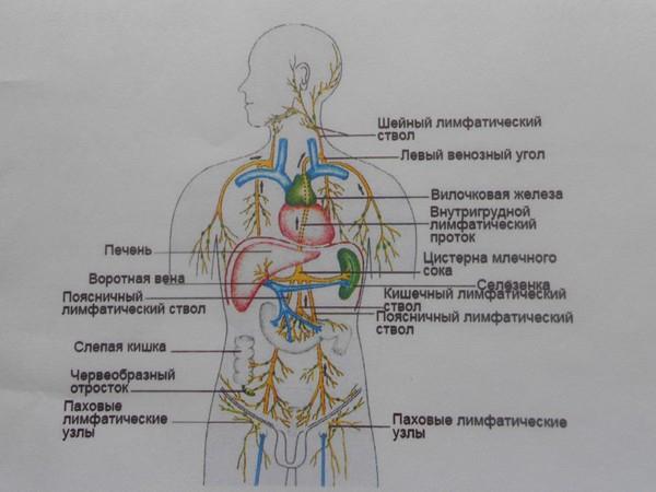 rol-limfaticheskoi-sistemy-5 (600x450, 158Kb)