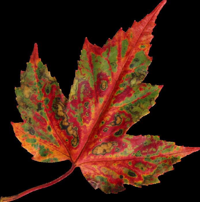 91298441_AutumnMelody_by_GalinaV_el__54_ (250x252, 477Kb)