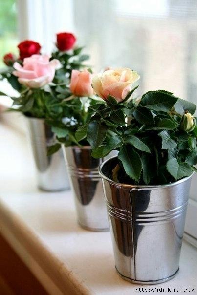 как вырастить розу из срезанного цветка. как вырастить розу из черенка, как вырастить розу из букета, Хьюго Пьюго рукоделие,
