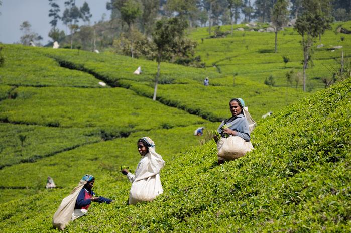 SriLanka_TeaHarvest_(pixinn.net) (700x464, 518Kb)