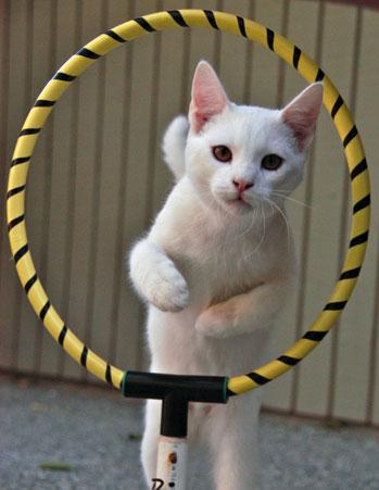дрессировка кошек3 (349x451, 99Kb)