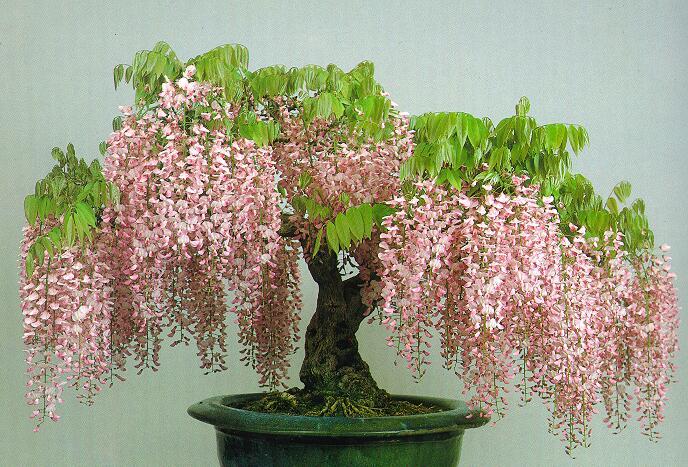 wisteria (610x400, 430Kb)