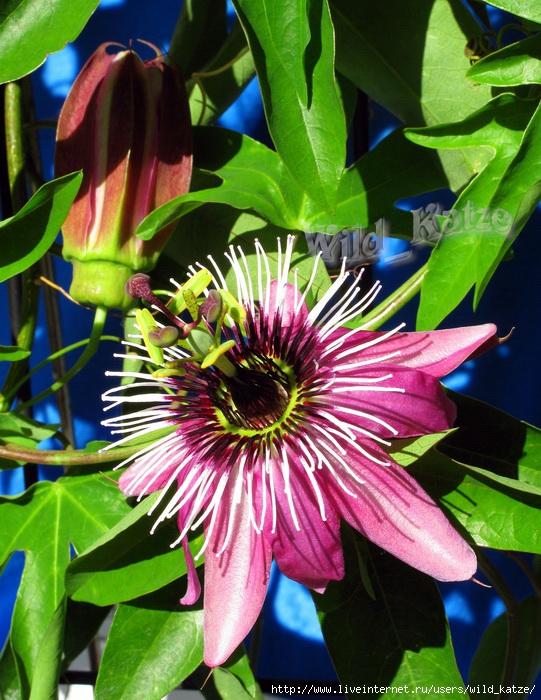 Passiflora_violacea_wz (541x700, 320Kb)