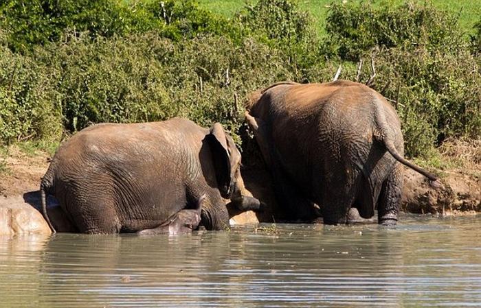 спасение слоненка фото 2 (700x449, 413Kb)