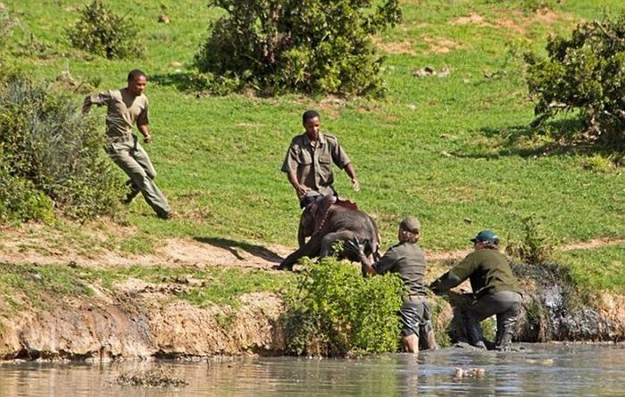 спасение слоненка фото 6 (700x445, 427Kb)