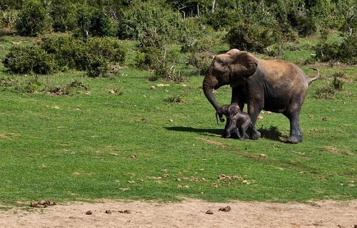 спасение слоненка фото 10 (700x448, 401Kb)