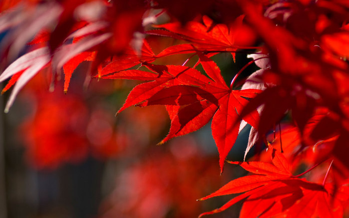 Japanese-maple-11_nagarazoku_sa (700x437, 68Kb)