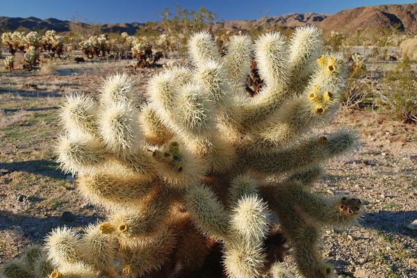 cholla_cactus_01 (600x400, 90Kb)
