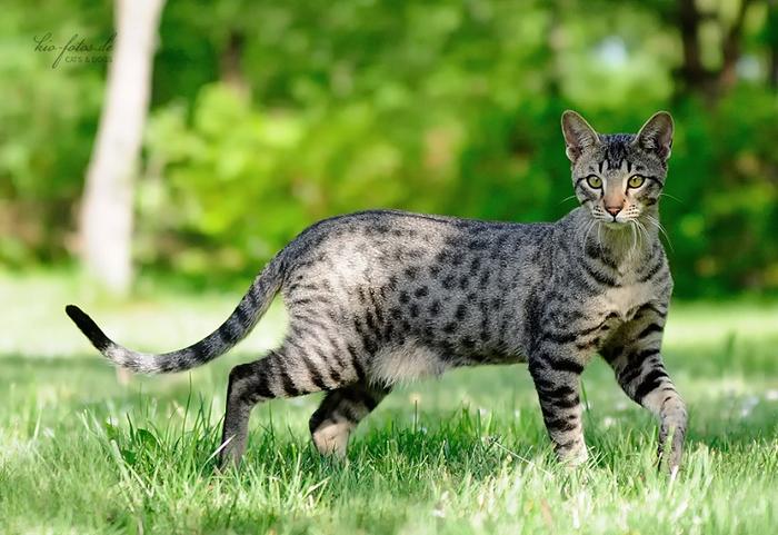 1-Кошка породы саванна на прогулке (700x481, 371Kb)