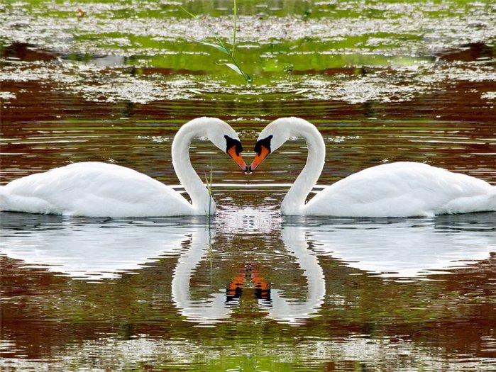 Лебеди (500x300, 76Kb)