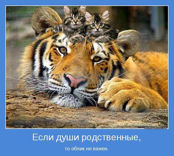 Тигр и котята (500x350, 65Kb)