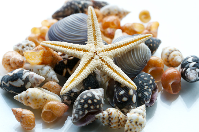 sea_shells_pictures_2 (650x432, 313Kb)