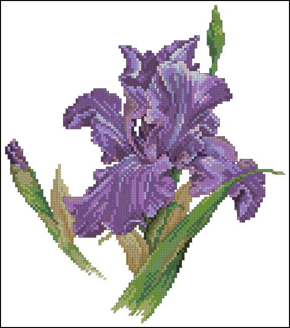 iris (575x650, 230Kb)