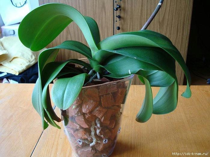 как пересадить орхидею фаленопсис, когда нужно пересаживать орхидею фаленопсис. Пересадка фаленопсиса от Хьюго Пьюго,