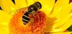 ������ 720r-big-bee-in-the-yellow-flower-randy-harris (700x328, 156Kb)