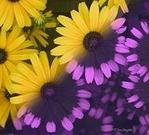 ������ UV_Flowers (300x271, 46Kb)