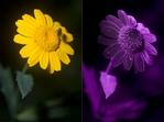 ������ yellow-flower-vis-uv-diptych (700x522, 164Kb)